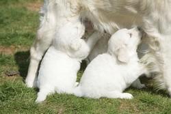 lactation chienne