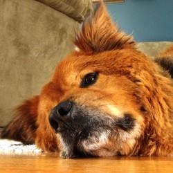 maladie chien anémie