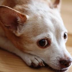 maladie de lyme chien comment soigner