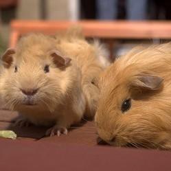 choisir le mâle et la femelle cochon d'Inde pour la reproduction