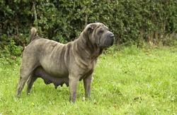 mamelle chienne