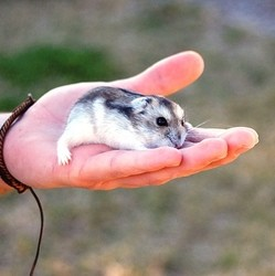 manipuler son hamster