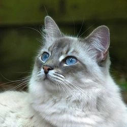 mettre collyre oeil chat