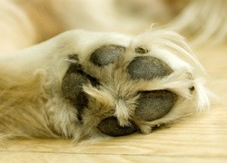 nettoyer ongles chiens