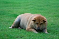 obesite canine