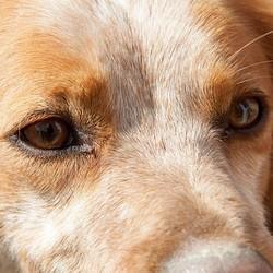 oeil-vue-chien