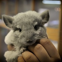 classification du chinchilla