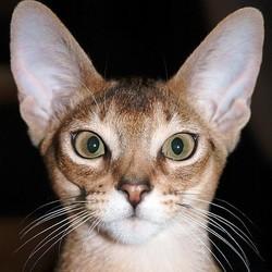 Pathologies des oreilles du chat maladies de peau et des for Interieur oreille