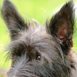 oreilles-chien