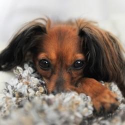 soigner naturellement otite chien