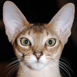 ouïe chat
