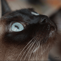 pathologie yeux chat