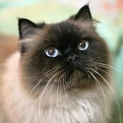 Pathologies du système cardio-vasculaire du chat