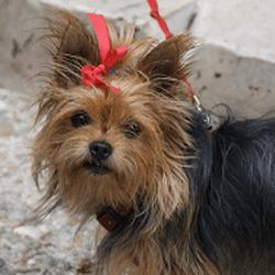 problèmes organes génitaux petits chiens