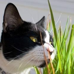 les bienfaits de l'herbe à chats