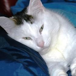 principales maladies virales chat