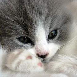 problème à la vessie et urètre du chat