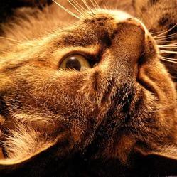 probleme foie chat