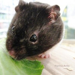 que mange le hamster