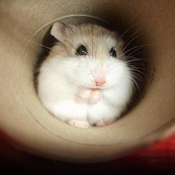 quel hamster choisir