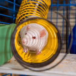 rat-tunnel