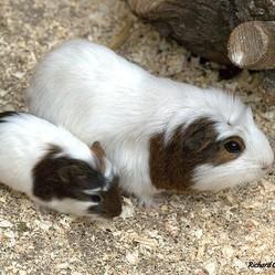 reproduction du cochon d'Inde
