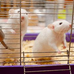 deux-rats-cage