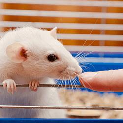 rat-sent-doigt