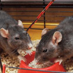 rats mangent
