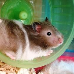 soin poil hamster