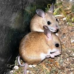 que mange la souris