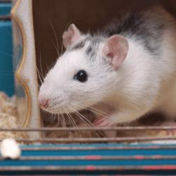 rat-dans-cage