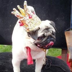 concours de beauté pour chien toilettage