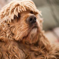 concours de beauté pour chien