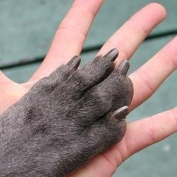 Toilettage du chien oreilles yeux bouche ongles toilettage professionnel wamiz - Couper les ongle d un chien ...