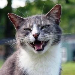toux du chat symptomes