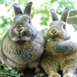 un plusieurs lapins