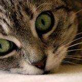 Chickicat
