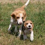 Beagle-In-Love