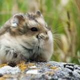 Hamsterious