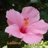 Lollana