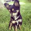 Laure Chihuahua