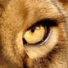 Lionnechattetitania
