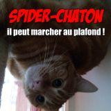 Spider Chaton
