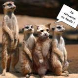 Une famille de suricate ...