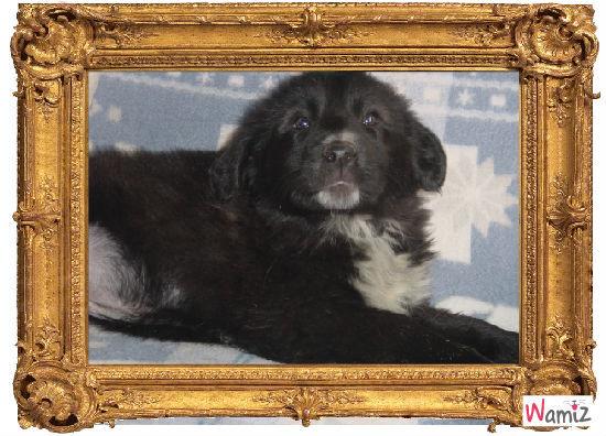 Femelle Groenendael collier Noir, lolcats réalisé sur Wamiz
