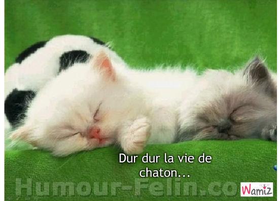 Dur dur la vie de chaton..., lolcats réalisé sur Wamiz