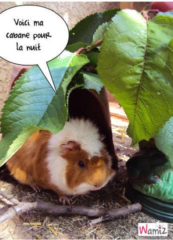 Koh lanta pour cochon d'inde, lolcats réalisé sur Wamiz