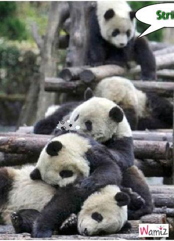 bouling panda, lolcats réalisé sur Wamiz
