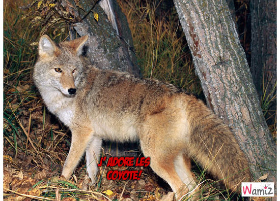 le coyote, lolcats réalisé sur Wamiz